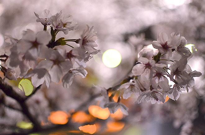 sakura2-thumb-660x437-381.jpg