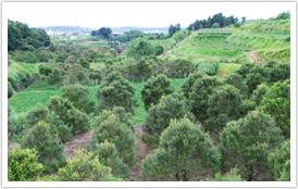 柘植の木の植林地
